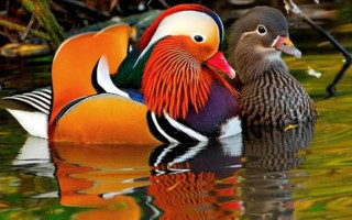 Уточки мандаринки: талисман фен-шуй для большой любви